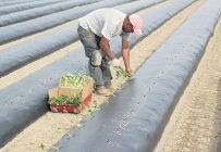 La plantation des boutures de patates douces se déroule au mois de juin à la Ferme Onésime Pouliot, de Saint-Jean-de-l'Île-d'Orléans. Crédit photo : Gracieuseté de la Ferme Onésime Pouliot