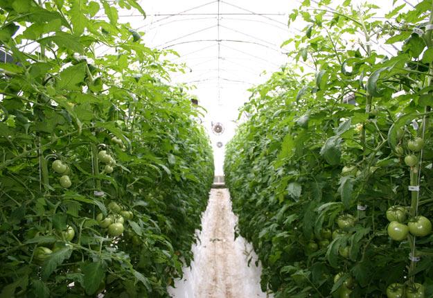 Le système de Motörleaf est actuellement à l'essai dans une serre de tomates en Californie, mais également au Québec, dans une production de cannabis médical. Crédit : Archives/TCN