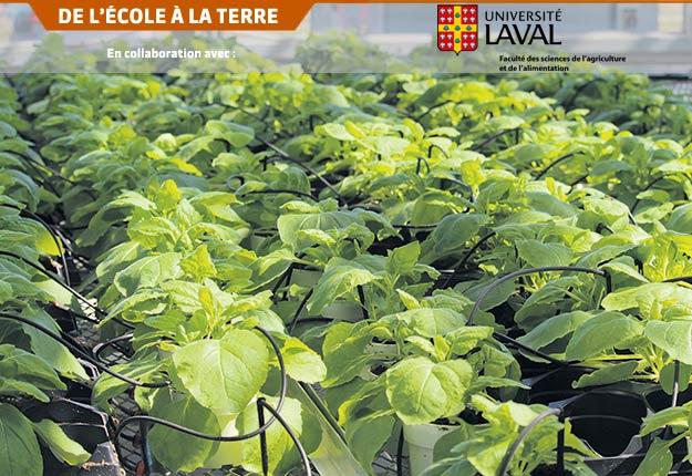 Une gamme de plantes est utilisée pour la production de protéines recombinantes, incluant des espèces agricoles d'importance comme le maïs, le canola ou le soya. Sont aussi utilisées des plantes moins connues, prisées pour leur efficacité à produire des protéines, comme l'herbacée Nicotiana benthamiana (sur la photo), une plante sauvage d'Australie cousine du tabac.