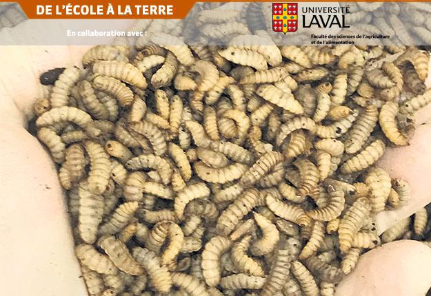De nombreuses larves d'insectes sont tellement riches en protéines et en lipides (respectivement 40-50% et 30% chez les mouches) qu'elles surpassent la qualité nutritive de la plupart des ingrédients utilisés dans la fabrication d'aliments pour le bétail. Crédit photo : FSAA