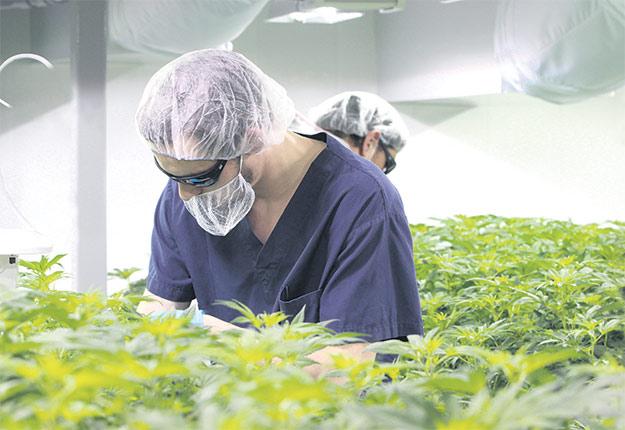Pour démystifier cette nouvelle production agricole, La Terre a visité les installations de marijuana de Saint-Lucien, au Centre-du-Québec. Crédit photo: Myriam Laplante El Haïli / TCN