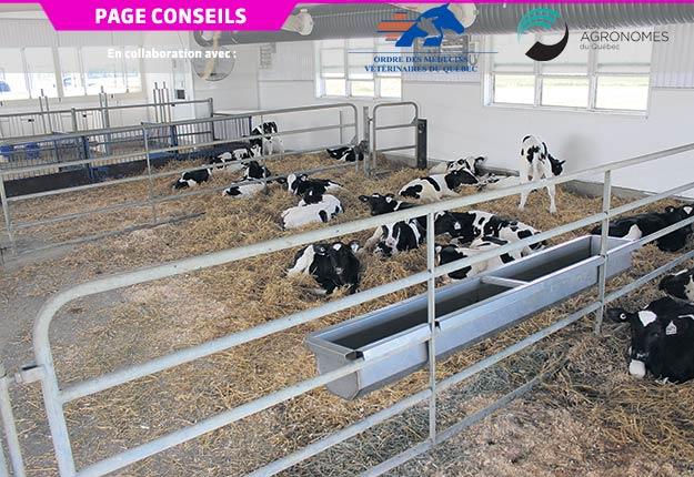 Un logement spacieux et une litière abondante permettent de mieux contrôler la qualité de l'air pour les génisses laitières. Crédit photo: Ordre des agronomes du Québec