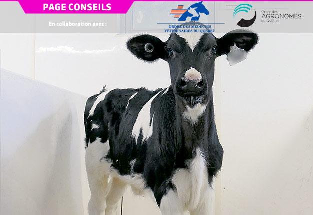L'infection par la leucose bovine est chronique et insidieuse, car elle a peu de manifestations cliniques. Crédit photo : Université de Montréal