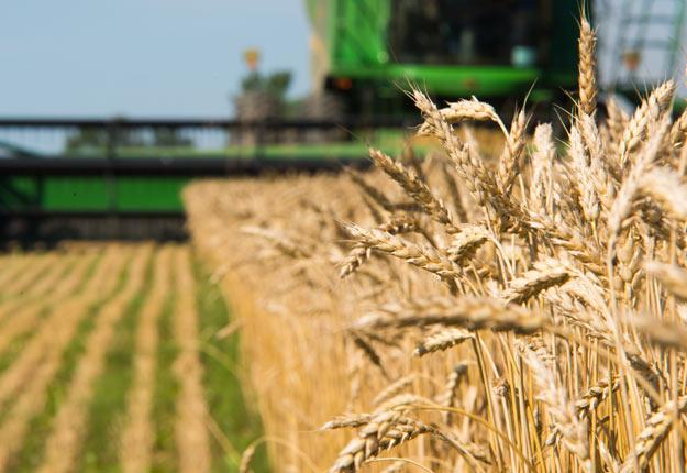 Quelques plants de blé modifié génétiquement ont été découverts en Alberta. Le gouvernement fédéral ne croit cependant pas que le blé en question soit entré dans le système alimentaire. Crédit photo : Martin Ménard/Archives TCN