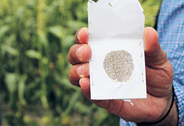 Deux espèces de trichogrammes produites commercialement au Québec, T.brassicae et T.ostriniae, font l'objet de lâchers pour parasiter les œufs de teigne du poireau dans la culture biologique de ce légume.
