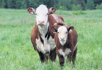 Tous les éleveurs de bovins de boucherie sont soumis à la Loi sur le bien-être et la sécurité de l'animal, en place depuis 2015. Crédit photo: Stéphane Champagne