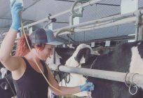 L'agricultrice Mylène Bégin a administré une solution de dextrose par injection intraveineuse à l'une de ses vaches. Photo : Gracieuseté de Mylène Bégin