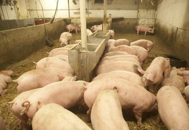 Les secteurs du porc et des grains sont particulièrement touchés par la guerre commerciale de Donald Trump. En effet, celle-ci fait chuter les prix à la Bourse de Chicago, qui sert de référence pour les prix au Canada et au Québec. Crédit photo : Martin Ménard/Archives TCN