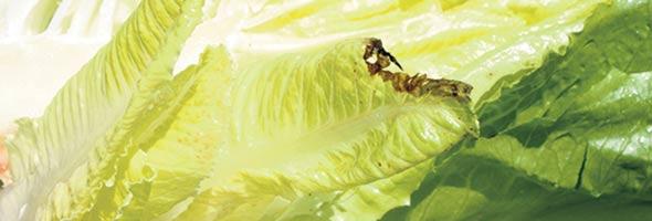 Le tipburn, aussi appelé nécrose marginale, a affecté une grande partie des récoltes avec les canicules de juillet.