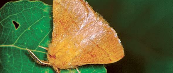 Visibles de la fin de juin jusqu'au mois d'août, les papillons se parent d'une palette de couleurs allant du beige au brun chamois.