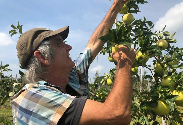 L'hybrideur Roland Joannin travaille à développer des variétés de pommes hybrides depuis plus de 30 ans. Crédit photo: Josianne Desjardins/TCN