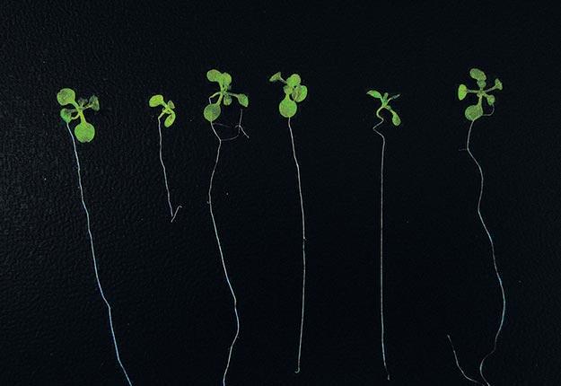 La 2epousse d'Arabette à partir de la gauche a subi les effets négatifs du sel. L'application de molécules développées par le chercheur permet aux plantes à résister à ce stress (4e et 6epousses).