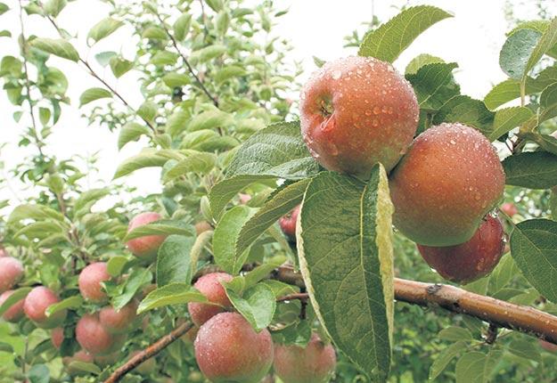 La récolte de la McIntosh accuse un retard en raison des températures plus chaudes qu'à l'habitude.