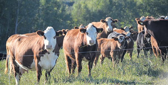 L'élevage de bovins est une production flexible, estime Guillaume Barrette. En effet, il est possible de commencer avec 10vaches, mais pour faire vivre deux personnes, il faut compter au moins 200têtes en faisant une gestion serrée, car les marges sont faibles. Crédit photo : Guillaume Roy