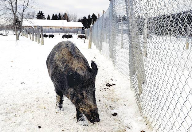 Les nouvelles normes dans l'élevage de sangliers sont beaucoup plus sévères, notamment en ce qui concerne l'aménagement des clôtures. Crédit photo : Archives/TCN