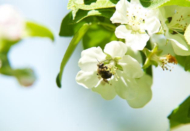Les abeilles et les bourdons excellent dans le transport de petites particules, de grains de pollen, de spores fongiques et de cellules bactériennes.