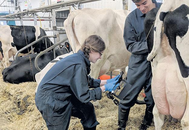 Jessica St-Pierre et Tanguy Bruneau testent le scanneur3D sur le jarret d'une vache à la ferme du Campus Macdonald. Crédit photo : Sarah McPherson