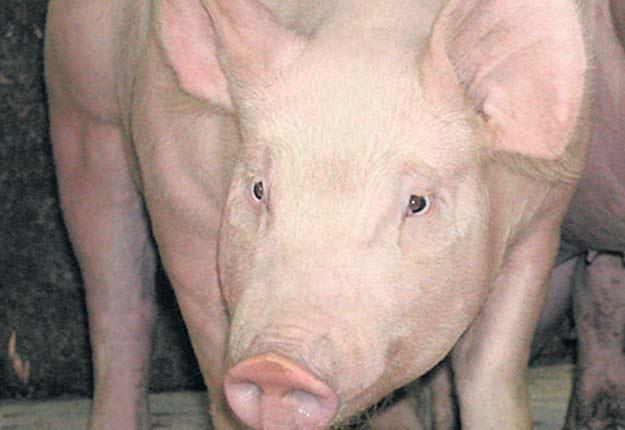 La peste porcine africaine est une maladie hautement contagieuse. Crédit photo : Archives/TCN