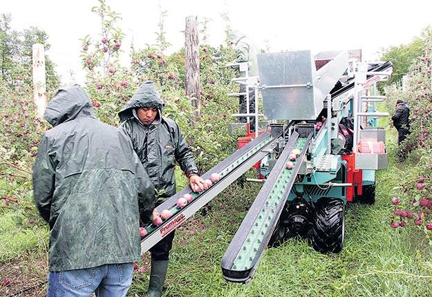 Les pommiers nains d'un verger à haute densité fournissent autant de tonnages que les autres et simplifient les activités de cueillette, selon le pomiculteur Mario Bourdeau. Crédit photo : Josianne Desjardins/TCN