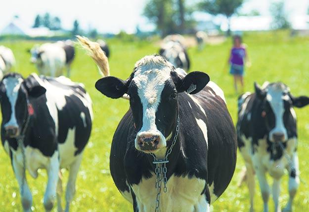 La majorité des vaches préfèrent le pâturage, et pas uniquement à la belle saison. Crédit photo : Archives/TCN