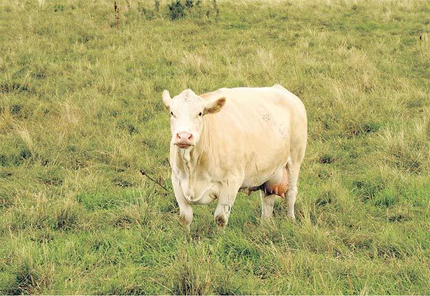 Ce cas de tuberculose bovine ne devrait pas avoir d'incidence sur le commerce des bovins. Crédit photo : Archives/TCN