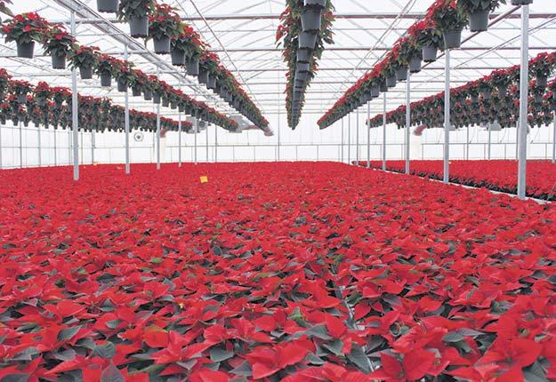 Le 1ernovembre dernier a marqué le début de l'opération livraison des quelque 250000poinsettias produits à la Ferme Grover chaque année. Crédit photo : Fermes Grover