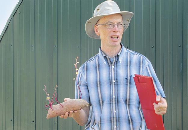 David Wees explique que contrairement à la pomme de terre, la patate douce se multiplie par bouturage des tiges. Une fois que les jeunes pousses ont été repiquées au champ, elles forment rapidement des racines. Crédit photo : Chloé Gendre