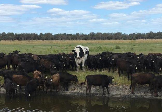 Knickers au beau milieu d'un troupeau de Wagyu. Photo : Gracieuseté de Geoff Pearson