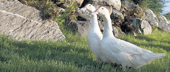 Hormis l'abattage, toutes les étapes de l'élevage de canards sont réalisées à la ferme. Ensuite, ils sont découpés et vendus à la boutique, ce qui permet au couple de vivre d'un élevage de 1900canards.