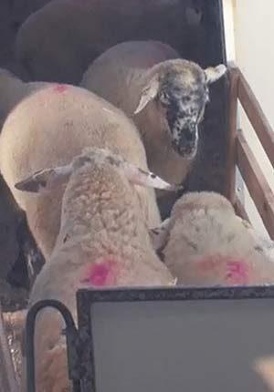 Les agneaux montent dans une remorque pour se diriger vers l'abattoir.