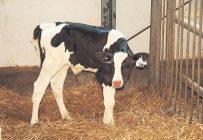 Plusieurs facteurs expliquent le recul actuel du prix des petits veaux laitiers. Crédit photo : Archives/TCN