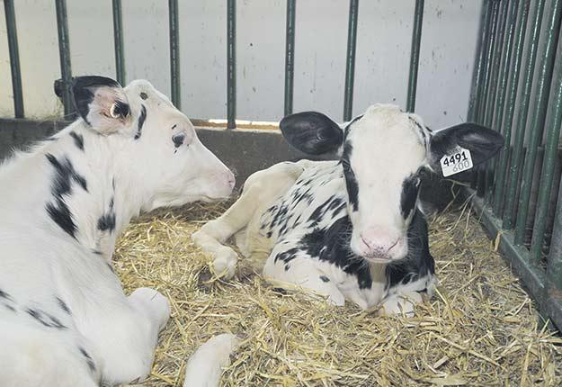 Le logiciel développé par Roger Cue pourrait aider les producteurs laitiers à faire une meilleure sélection génétique de leurs troupeaux. Crédit photo : Archives/TCN