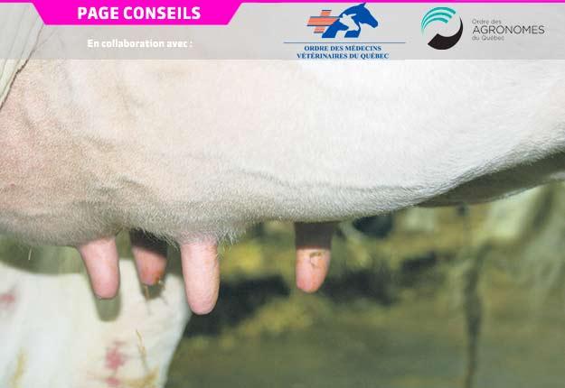 La mammite bovine peut occasionner une diminution importante de la production laitière, en plus de créer un inconfort et de la douleur pour la vache. Crédit photo : Archives/TCN