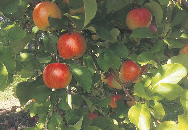 La Ò:IASE, une nouvelle pomme croquante au goût de prune jaune, est «une bonne candidate» pour le marché québécois, selon l'hybrideur Roland Joannin.