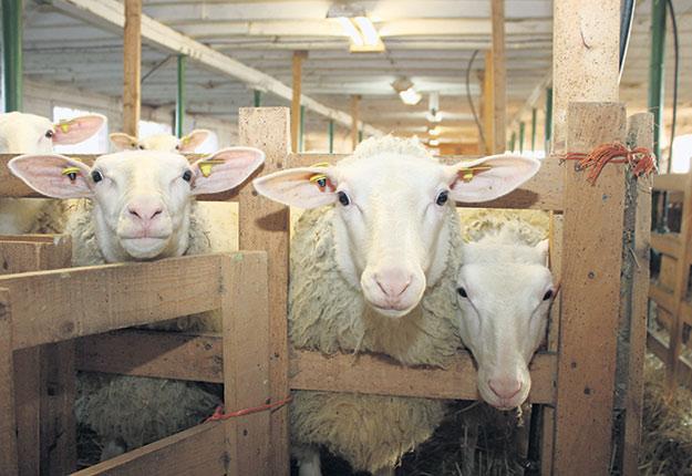 Les producteurs et transformateurs de lait de brebis, de chèvre et de bufflonne seraient exclus du programme de compensation de l'ACEUM et du PTPGP. Crédit photo : Archives TCN