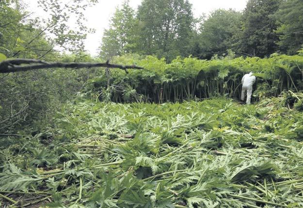 Lorsqu'elle s'implante sur un site, la berce du Caucase peut se répandre rapidement et générer des plants de plus de 2mètres. Crédit photo : Archives/TCN