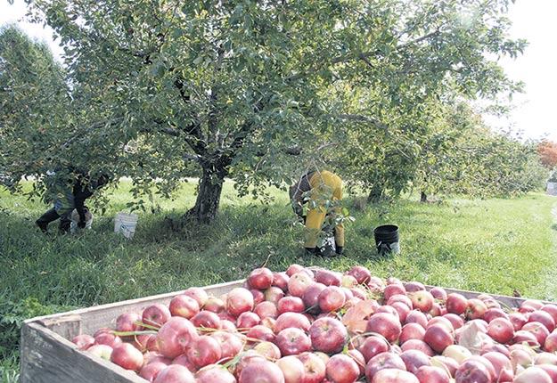 Les producteurs de pommes ont refusé d'augmenter leurs cotisations à leur organisation syndicale. Crédit photo : Archives/TCN