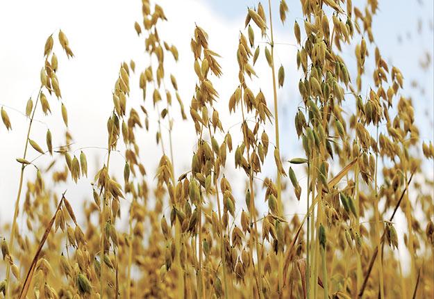 La production de grains biologiques exige en moyenne près de 17heures par hectare en main-d'œuvre.