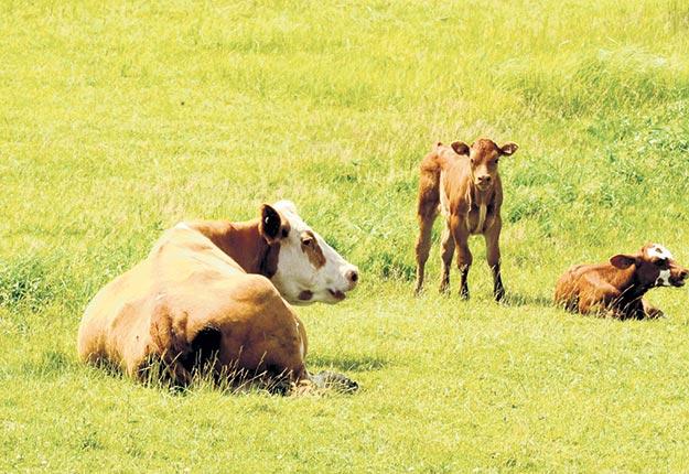 Les producteurs de bovins de la province veulent mieux renseigner les consommateurs sur l'empreinte environnementale de leur filière. Crédit photo : Archives/TCN