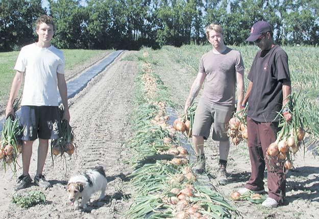 L'un des employés du Centre de recherche horticole du Campus Macdonald, Manuel Almengo, et deux étudiants, Shane Wood et Michael Gossag, récoltent des oignons espagnols. Le Centre est accessible aux étudiants de divers départements: agronomie, diététique, génie rural, etc. Crédit photo : Michael Bleho
