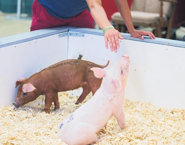 Selon l'organisation, les élevages d'arrière-cour et minifermes peuvent aggraver le risque de propagation de la peste porcine. Crédit photo : Archives/TCN