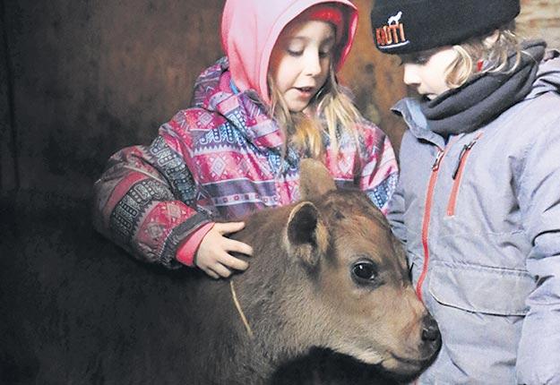Un veau de 3 semaines a été adopté par la famille de Vanessa Turcotte. Crédit photo : Gracieuseté de Vanessa Turcotte
