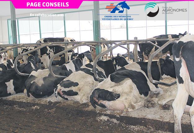 Les blessures aux trayons surviennent le plus souvent quand la vache se lève. Crédit photo : Archives/TCN