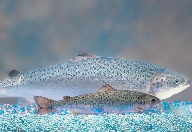 Les saumons transgéniques de la compagnie AquaBounty croissent pratiquement deux fois plus rapidement que les autres et deviennent beaucoup plus gros. Crédit photo : AquaBounty