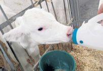 Quand un veau est né depuis environ une heure, qu'il est encore mouillé, sale, chambranlant et malhabile, il n'est pas toujours facile de lui donner le biberon.