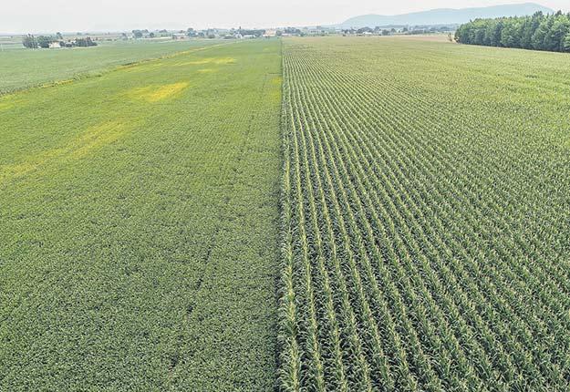 Plantations transgéniques de soya, à gauche, et de maïs, à droite, près de la rivière Huron, en Montérégie. Crédit photo : Vincent Fugère