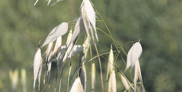 La folle avoine, sur la photo, ainsi que l'amarante à racines rouges peuvent provoquer des pertes de rendement de 30à 90% dans les champs qu'elles infestent. Photo : Daniel Villafruela