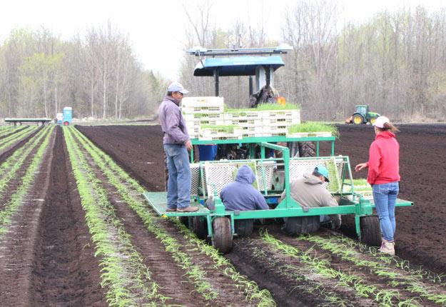Chez les Van Winden, une équipe de travailleurs étrangers s'affaire à transplanter des semis d'oignons. Crédit photo : Martin Primeau / TCN