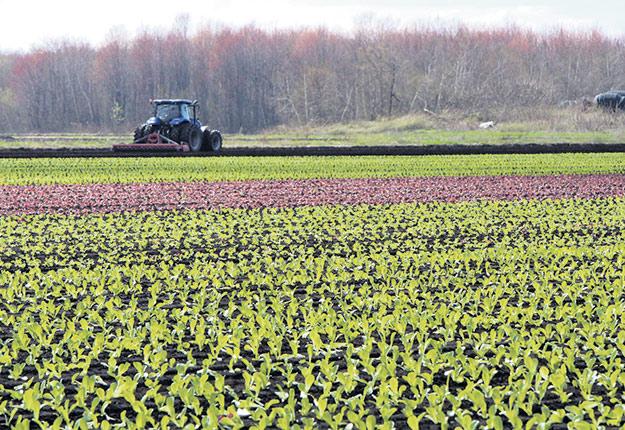 Les producteurs maraîchers de la Montérégie ont profité des quelques jours de beau temps en mai pour amorcer leurs semis. Photo : Martin Primeau / TCN
