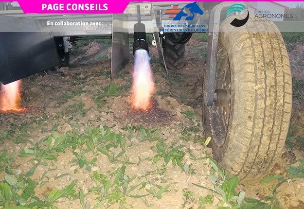 Flamme produite par un brûleur au propane pour le contrôle des mauvaises herbes. Crédit photo : Denis Giroux